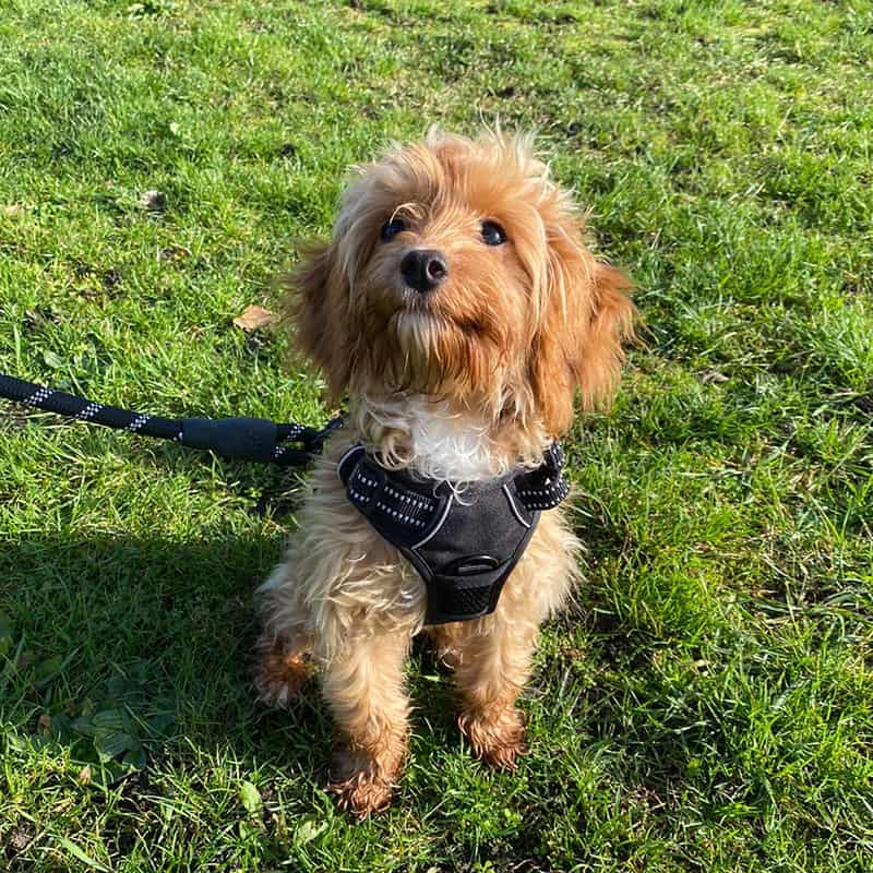 puppy walks and visits Woking St Johns Knaphill Horsell Bisley West End Chobham Brookwood Pirbright